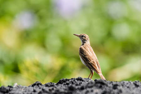 breeder: Paddyfield Pipit, is a resident breeder in open scrub, grassland and cultivation in southern Asia east to the Philippines Stock Photo