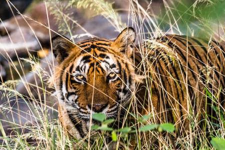 tigress: Royal Bengal Tiger (T-24 Ustaad) Stock Photo