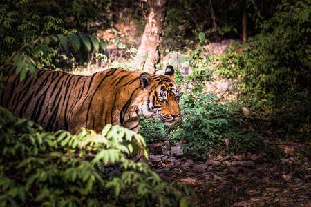 royal: Royal Bengal Tiger (T-24 Ustaad) Stock Photo