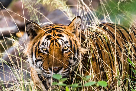 bengal tiger: Royal Bengal Tiger (T-24 Ustaad) Stock Photo