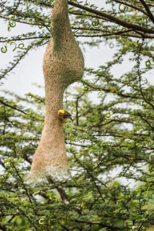 weaving: Baya Weaver (Ploceus philippinus) weaving nest Stock Photo