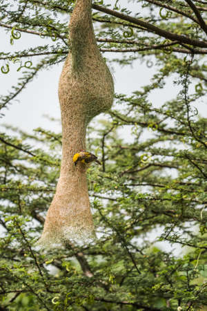 weaver bird nest: Baya Weaver (Ploceus philippinus) weaving nest Stock Photo