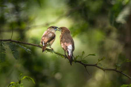 subcontinent: Indian Silverbill (Euodice malabarica). The Indian silverbill or white-throated munia is a small passerine bird found in the Indian Subcontinent and adjoining regions