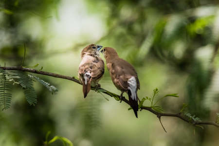 passerine: Indian Silverbill (Euodice malabarica). The Indian silverbill or white-throated munia is a small passerine bird found in the Indian Subcontinent and adjoining regions