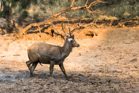 erected: Sub-Adult Male Sambar Deer with erected penis playing with mud for sexual satisfaction