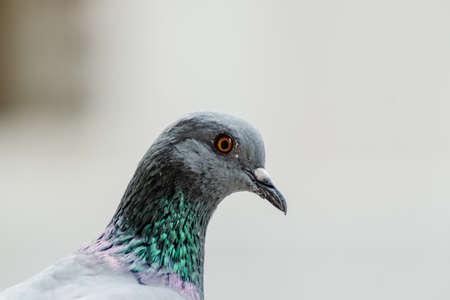 portait: A closup shot of Rock Pigeon. Portait of Rock Pigeon