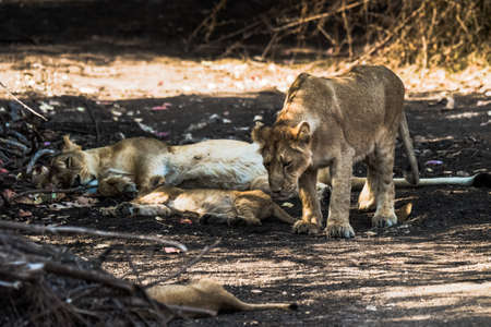 gir: Asiatic Lion family sleeping and one of the sub-adult cub going to sit Stock Photo