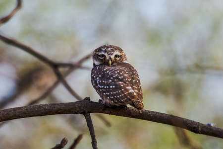 spotted: Spotted owlet perched and watching