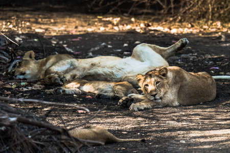 gir: Asiatic Lion family resting and one of the cub watching Stock Photo