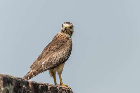 zopilote: Buzzard blanco de ojos o halcón de patas largas posado para el retrato