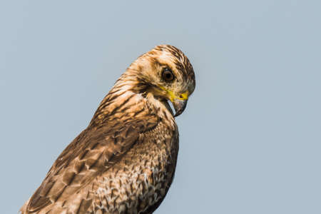 White Eyed Buzzard or Long-legged buzzard perched for portrait