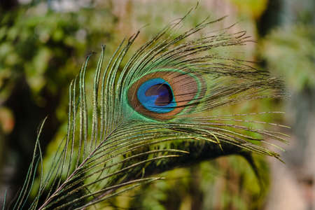 brighten: Indian peafowl tail eye brighten up on sun light