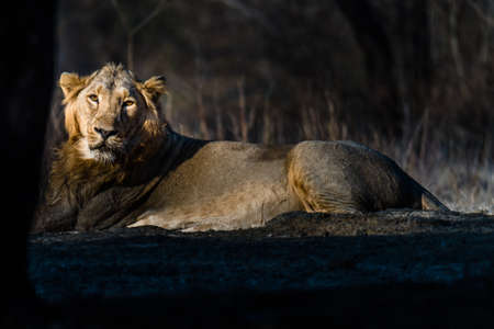 gujarat: Asiatic Lion resting at Gir forest Stock Photo