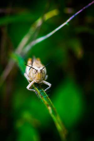 Grasshopper on a tiny green grass