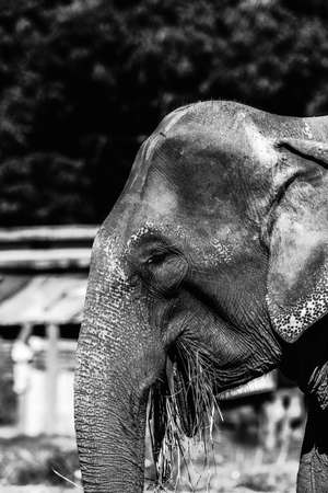 Indian Domestic Elephants at Jim Corbett National Park