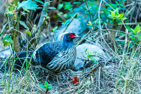 Male Kalij pheasant found in forests and thickets, especially in the Himalayan foothills walking to find foods