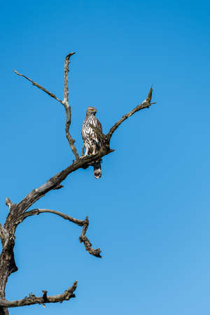 Adule Changeable Hawk Eagle perched and looking for prey at Jim Corbett National Park