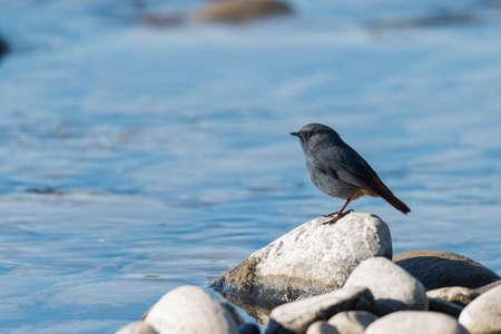 The plumbeous water redstart is a passerine bird standing on a rock near river