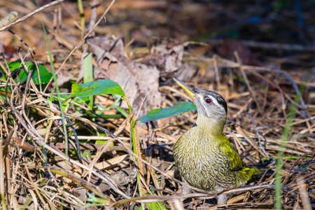 Juvenile Grey headed green woodpecker sitting on ground to find food