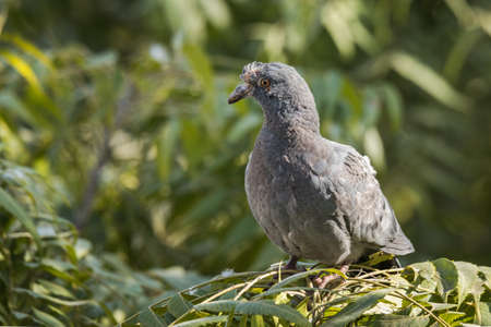 Rock pigeon or Rock dove perched with infected at head watching Banco de Imagens