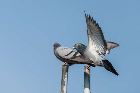 Pair of rock pigeon or rock dove perched while one of them spread wings Stock Photo