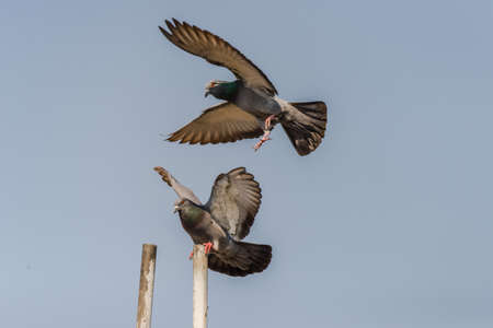 Pair of rock pigeon or rock dove perched with spreading wings while another flying Stock Photo