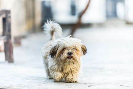 Shih Tzu, also known as the Chrysanthemum Dog, is a toy dog breed walking forward