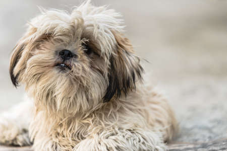 Shih Tzu, also known as the Chrysanthemum Dog, is a toy dog breed sitting and relaxing on floor
