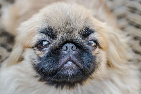 Closeup shot of pekingese or lion dog, an ancient breed toy dog from China. Looking front side