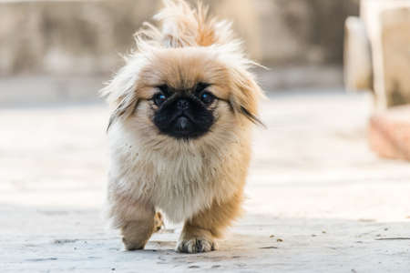 Pekingese puppies also lion dog an ancient breed toy dog, from China, a resemblance to Chinese guardian lions. Фото со стока