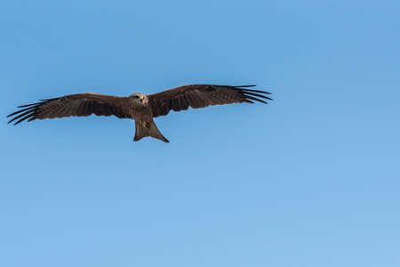Black Kite flying at sunny day to find prey