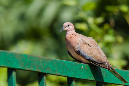 Laughing dove perched on railing isoloated in green background Stok Fotoğraf