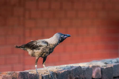 Juvenile house crow at first day of flight. A crucial part of life and death.