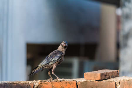 Juvenile house crow at first day of flight after leaving nest. A crucial part of life and death.