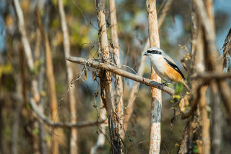 Long Tailed Shrike with perched to find a prey.