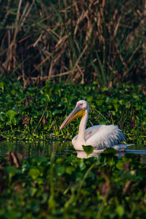 Great white pelican swimmng in the lake to find foos at morning