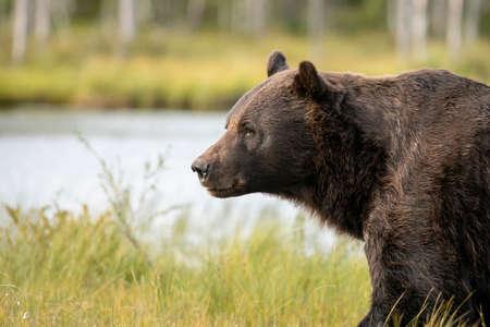 Beautiful and majestic big European Brown Bear (Ursus arctos arctos) walking / hunting around lake in the evening light. Dangerous animal in nature taiga forest and meadow habitat or Kuhmo, Finland.