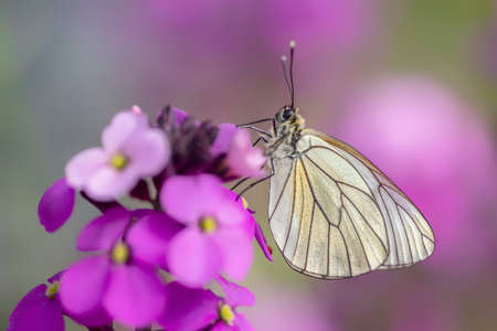 Beautiful Black-Veined White butterfly (Aporia crataegi), on pink flower. White butterfly. Blurry green and pink background. Precious white butterfly in Summer garden.
