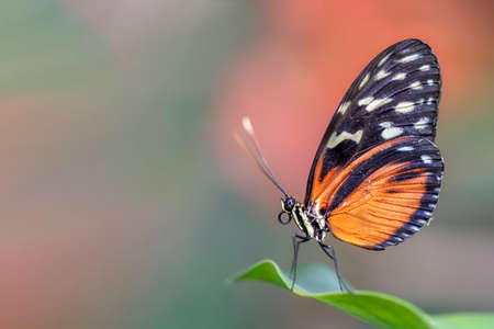 Beautiful Tiger longwing (Heliconius hecale) on a leaf in the amazon rainforest in South America. Presious Tropical butterfly. Blurry green and orange background 스톡 콘텐츠
