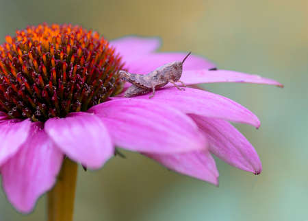 Presious and beautiful grasshopper on a Purple cone flower (Echinacea purpurea) in summer garden. Blurry green and purple background. Stock Photo