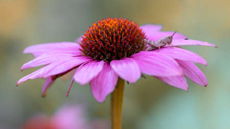 Presious and beautiful grasshopper on a Purple cone flower (Echinacea purpurea) in summer garden. Blurry green and purple background. 스톡 콘텐츠