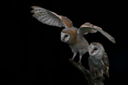 Two Barn Owls (Tyto alba) sitting on a branch. Dark background. North Brabant in the Netherlands.