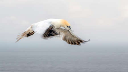 Gannet (Morus bassanus) flying above the sea near the island or helgoland in germany.