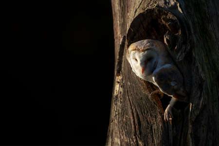 Beautiful and cute Barn owl (Tyto alba), hunting. Dark night background. North Brabant in the Netherlands. Writing space.
