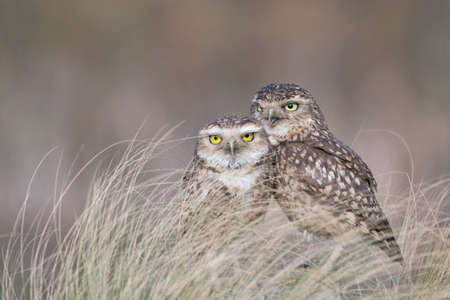 two Burrowing owls (Athene cunicularia) between the grass. North Brabant in the Netherlands. Writing space. Love birds.