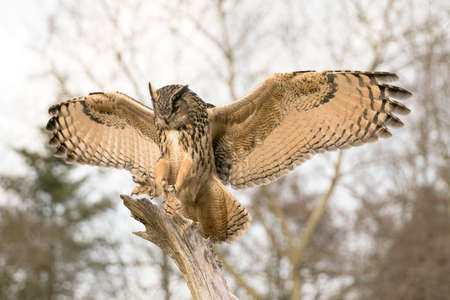 Landing of a Eurasian Eagle-Owl (Bubo bubo) on branch. Bokeh background. North Brabant in the Netherlands. Stock Photo