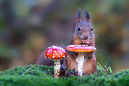 Cute hungry Red Squirrel (Sciurus vulgaris) eating a hazelnut in an autumn forest in North Brabant in the Netherlands. Two fly amanita (Amanita muscaria). Bokeh background.