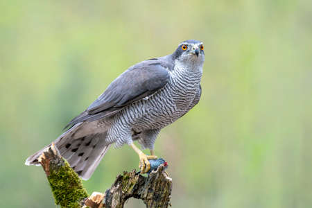 Beautiful adult or Northern Goshawk (Accipiter gentilis) on a branch, eating a prey in the forest or North Brabant in the Netherlands. Green blurry background with writing space. Stockfoto