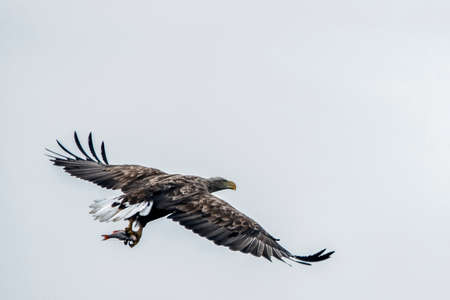white tailed eagle (Haliaeetus albicilla) taking a fish out of the water or the oder delta in Poland, europe. Writing space. Stockfoto