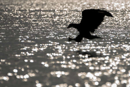 white tailed eagle (Haliaeetus albicilla) taking a fish out of the water or the oder delta in Poland, europe. Bokeh world with backlight.